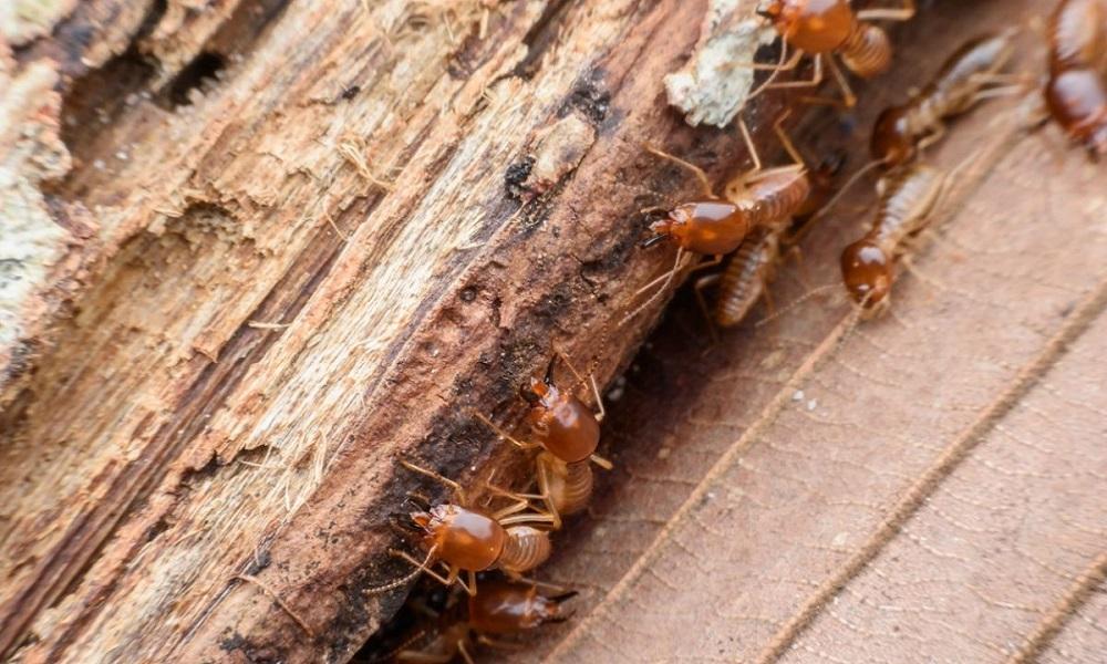 Eliminar termitas en muebles de madera